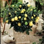 Citrus Lemon Eureka potted plant