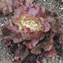 Lettuce Sierra