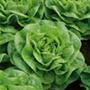 Lettuce Brighton