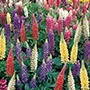 Lupin Gallery Mixed
