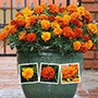 Marigold Fireball Flower Plants