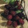 Mulberry Charlton House fruit tree