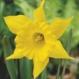 Narcissus King Alfred Flower Bulbs