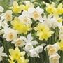 Narcissi Triandus Mix
