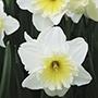 Narcissus Ice Follies Flower Bulbs
