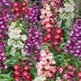 Penstemon Arabesque F1 Mixed