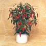 9cm Potted Pepper Plant
