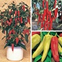 Chilli Nicely Spicy Plant Collection