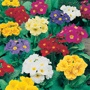 Polyanthus Crescendo Mixed F1 Flower