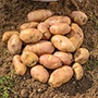 Potato Inca Bella (Phurejas Seed Potato) Tubers