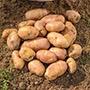Potato Inca Bella (Phurejas Seed Potato) Tubers