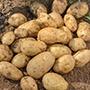Potato Isle of Jura