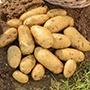 Potato Jazzy (Second Early Seed Potato)
