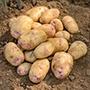 Potato Kestrel