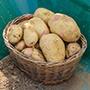Potato Vales Sovereign