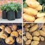 Potato collection