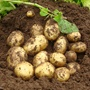Potato Premiere Seed Potato