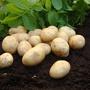 Potato Duke of York Seed Potato