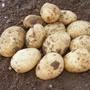 Potato Melody Seed Potato