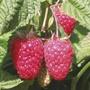 Raspberry Canes (Floricane) Cascade Delight