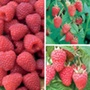 Raspberry Collection