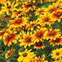 Rudbeckia Toto Mixed F1