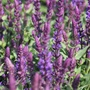 Salvia Salvatore Blue Flower Plants