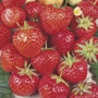 Strawberry Royal Sovereign Plants (Mid Season)