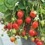 Strawberry Bare Root Plants