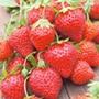 Strawberry Mara des Bois Plants Plants (Everbearer)