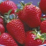 Strawberry Mara des Bois Plants Plants (Everbearer)