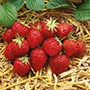 Strawberry Elsanta Plants (Mid Season)