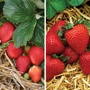 Everbearer Strawberry Plant Collection