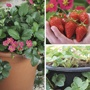 Hanging Basket Strawberry Collection