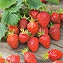 Strawberry Gariguette Plants (Early)