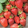 Strawberry Gariguette Plants