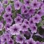 Surfinia Rose Vein Flower Plants
