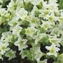 Surfinia Petunia Lime Flower Plants