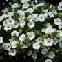 Surfinia Petunia Snow