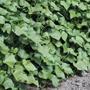 Sweet Potato Plant Foliage