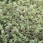 Thyme Silver Queen Herb Plants