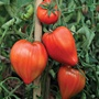 Tomato Coeur de Boeuf Grafted Plants