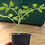 Tomato Vanessa  (medium) Grafted veg plant