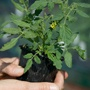 9cm Potted Tomato Plants