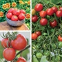 Tomato Disease Resistant Collection