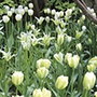 Tulip Key Lime Pie Collection Flower Bulbs
