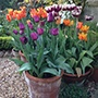 Tulip for Containers Collection Flower Bulbs