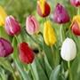Tulip Flower Bulb Pack