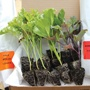 Vegetable Plants For Despatch