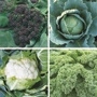 Winter Greens Brassica Plants Collection